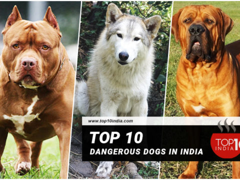 top-10-dangerous-dogs-in-india