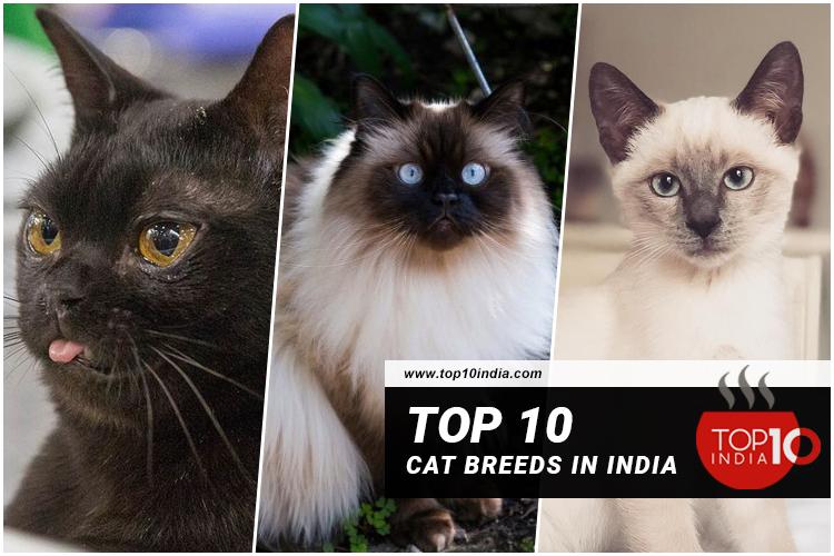 Top 10 Cat Breeds In India
