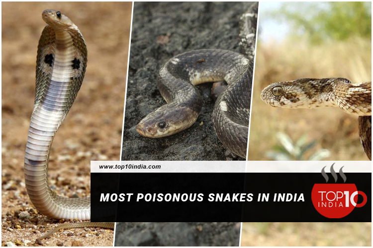 Most Poisonous Snakes In India