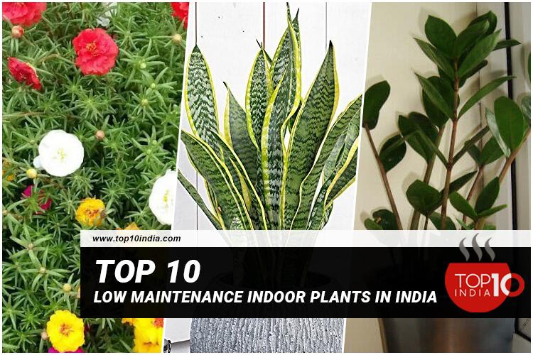 Top 10 Low Maintenance Indoor Plants In India